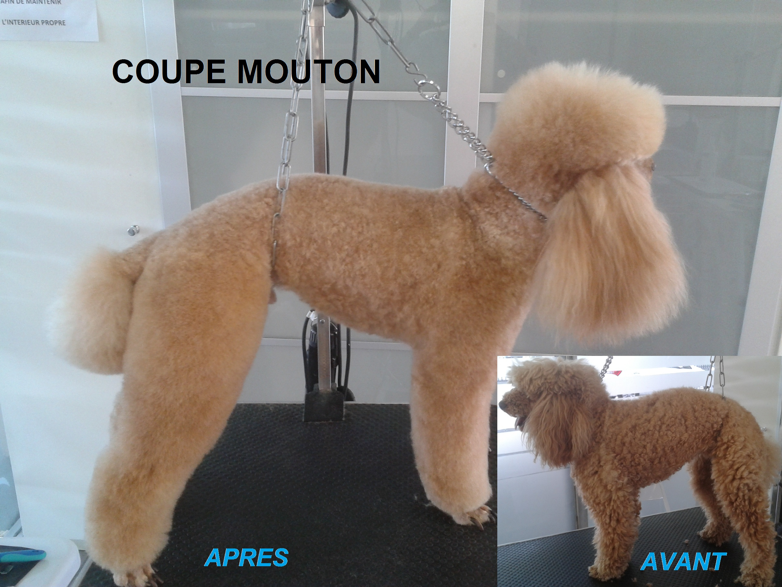 caniche coupe mouton 1 avant après toilettage toulouse lovely coussi'nets