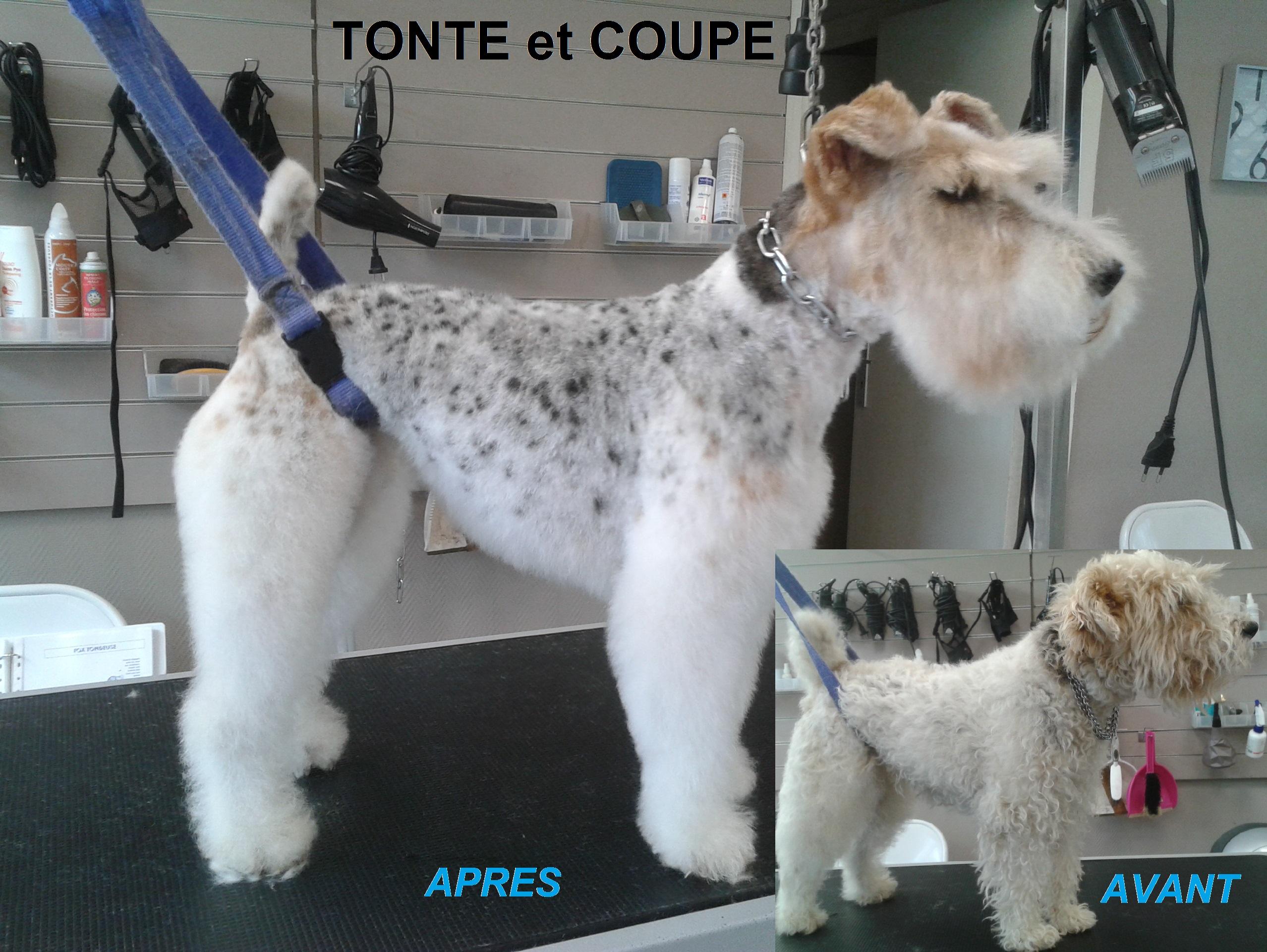 fox terrier tonte et coupe 1 avant après toilettage toulouse lovely coussi'nets