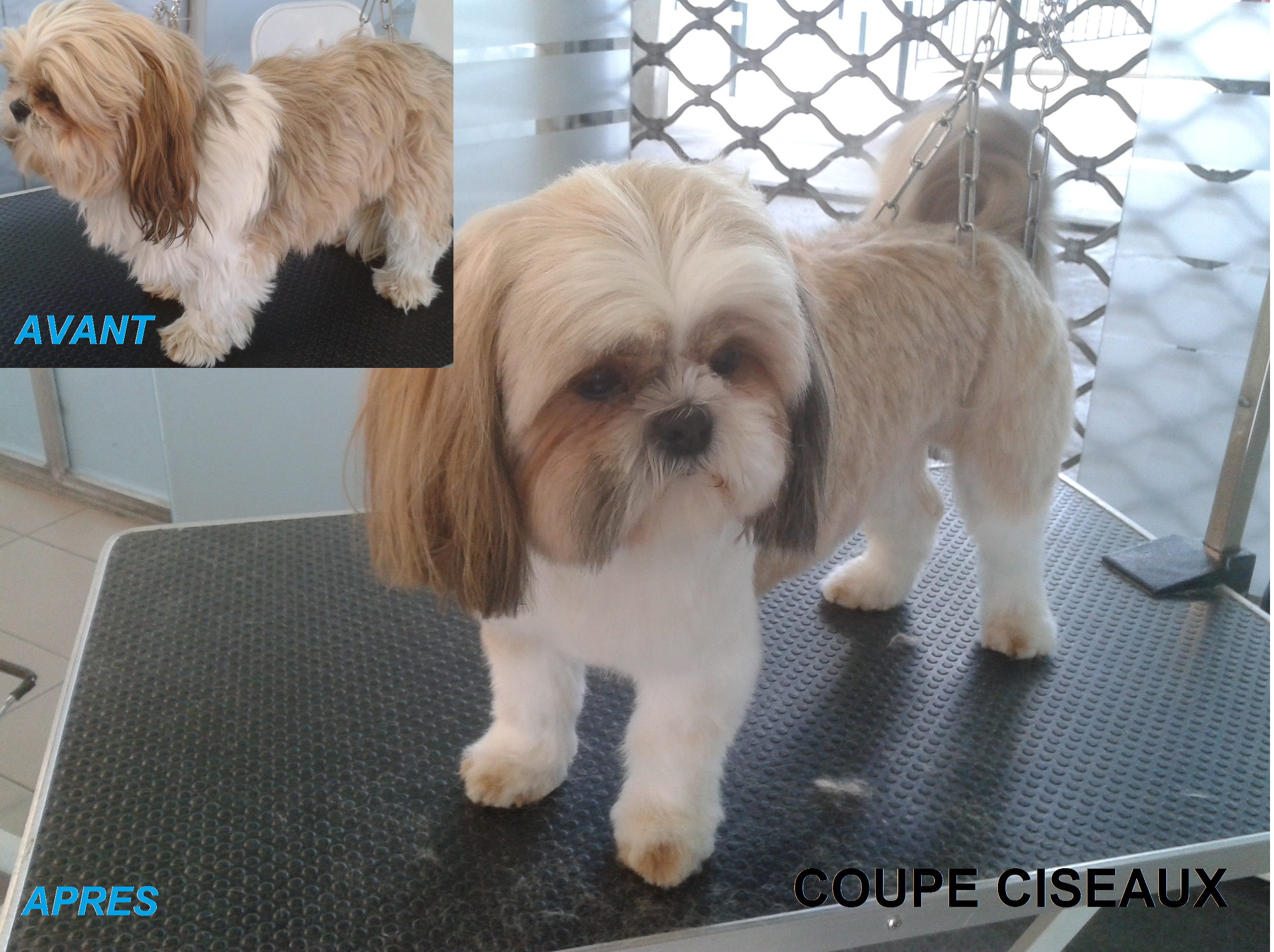 Galerie photos lovely coussi 39 nets - Coupe nounours pour shih tzu ...