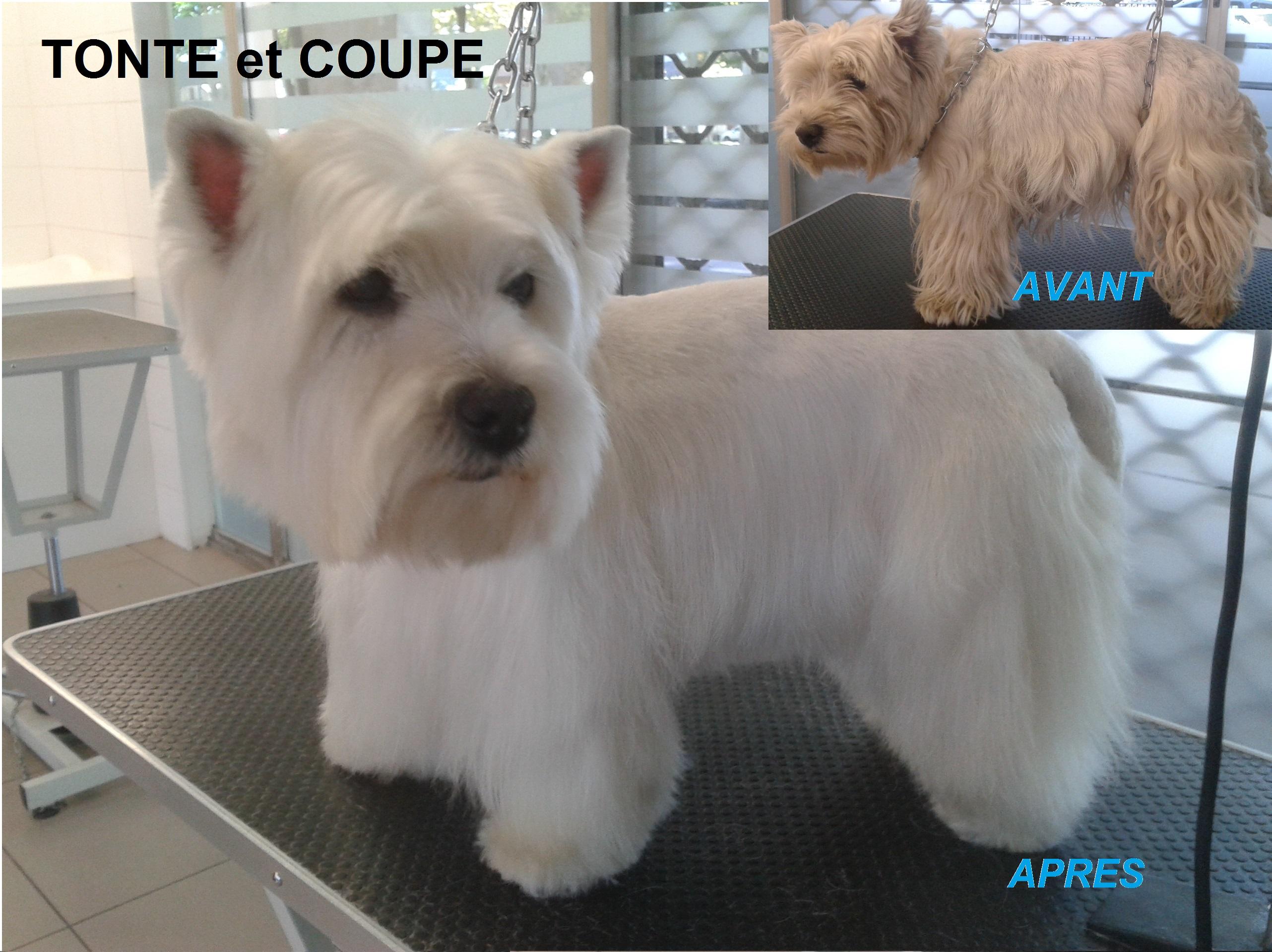 Westie terrier for Tonte