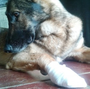 chien bandage patte